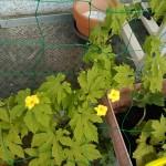 緑に栄えるゴーヤの花